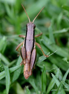 Scotussa brachyptera
