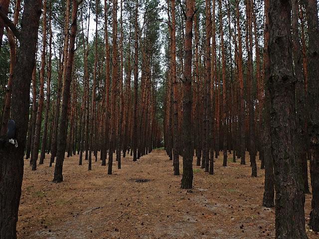 Ukraiński, sosnowy las. Pod stopami szyszki i igły
