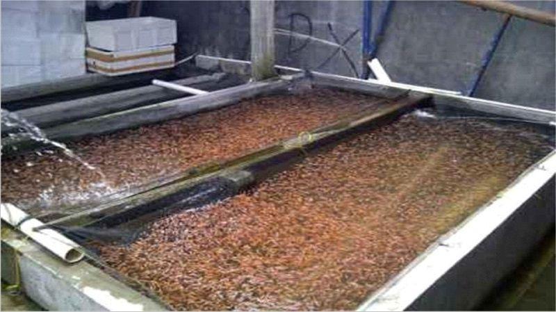Benih ikan nila sehat dengan tanda ( warna cerah dan aktif bergerak)