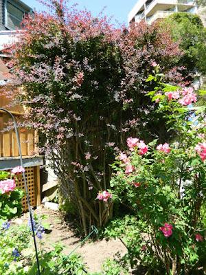 Berberis thunbergii (Japanese Barberry) in a Toronto garden by garden muses--not another Toronto gardening blog