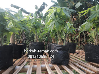 harga pohon pachira