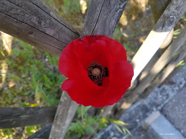 Flor vermelha e viçosa à sombra de uma velha cerca