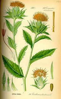 Cardus tinctorius