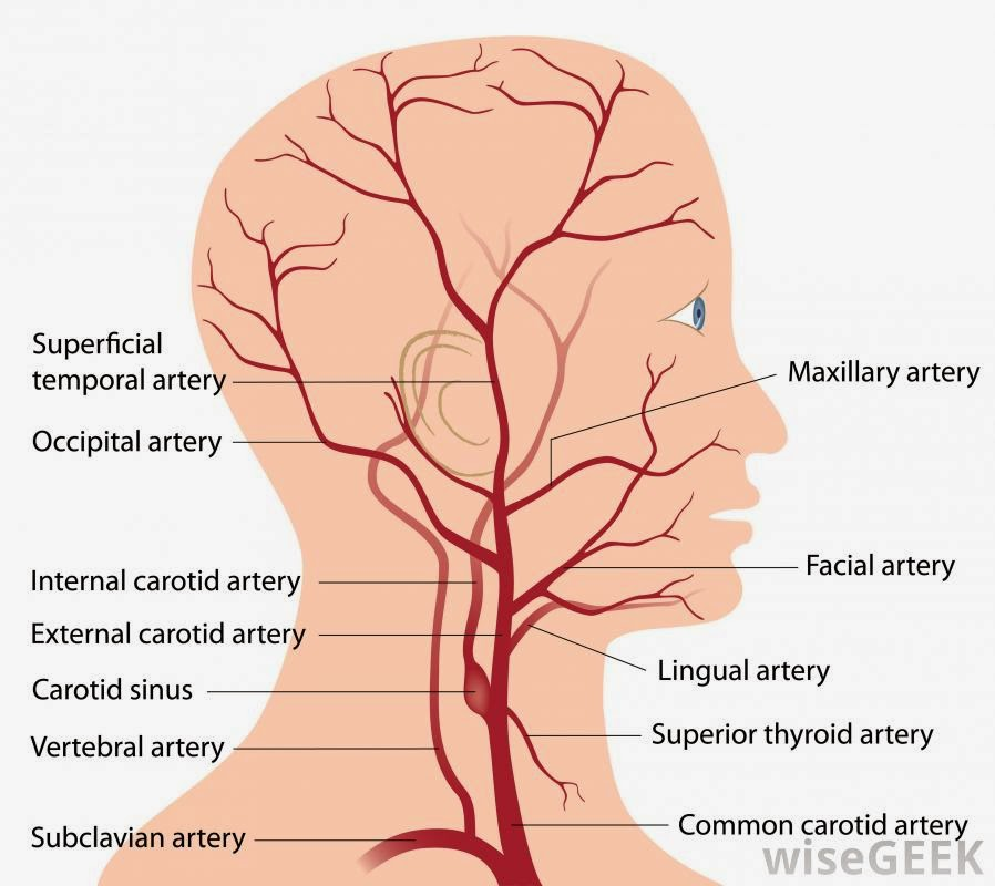 diagram human head neck including blood vessels