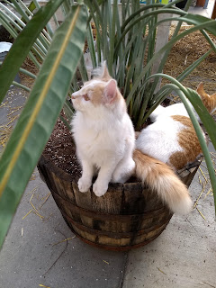 Two tan and white cats lying in a bird of paradise pot.