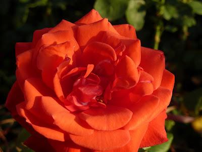 Цветщие розы