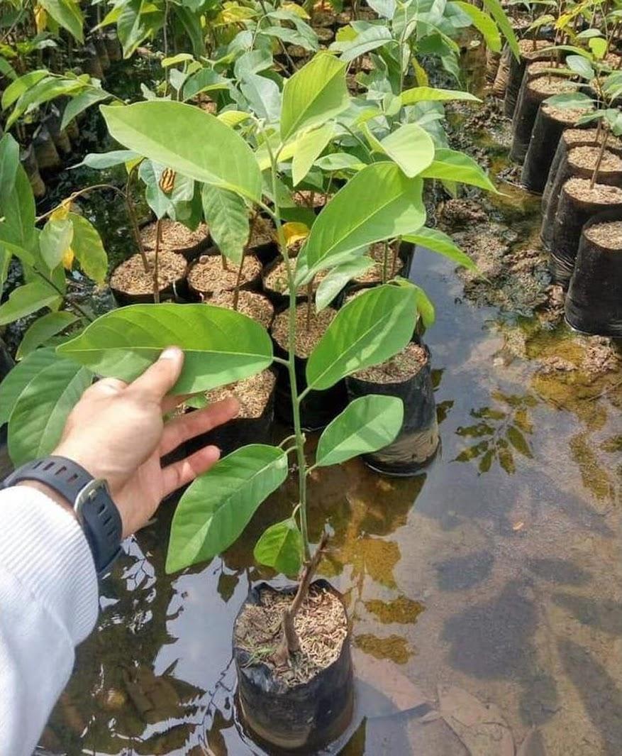 Grosir Jual Bibit Buah Srikaya Merah Okulasi Unggul Bibit Biji Benih Best Sulawesi Utara