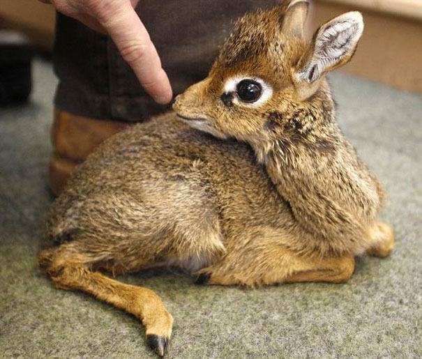 Baby Animals: Baby Dik Dik