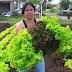 Majestosas alfaces na colheita da Horta Municipal da Ilha