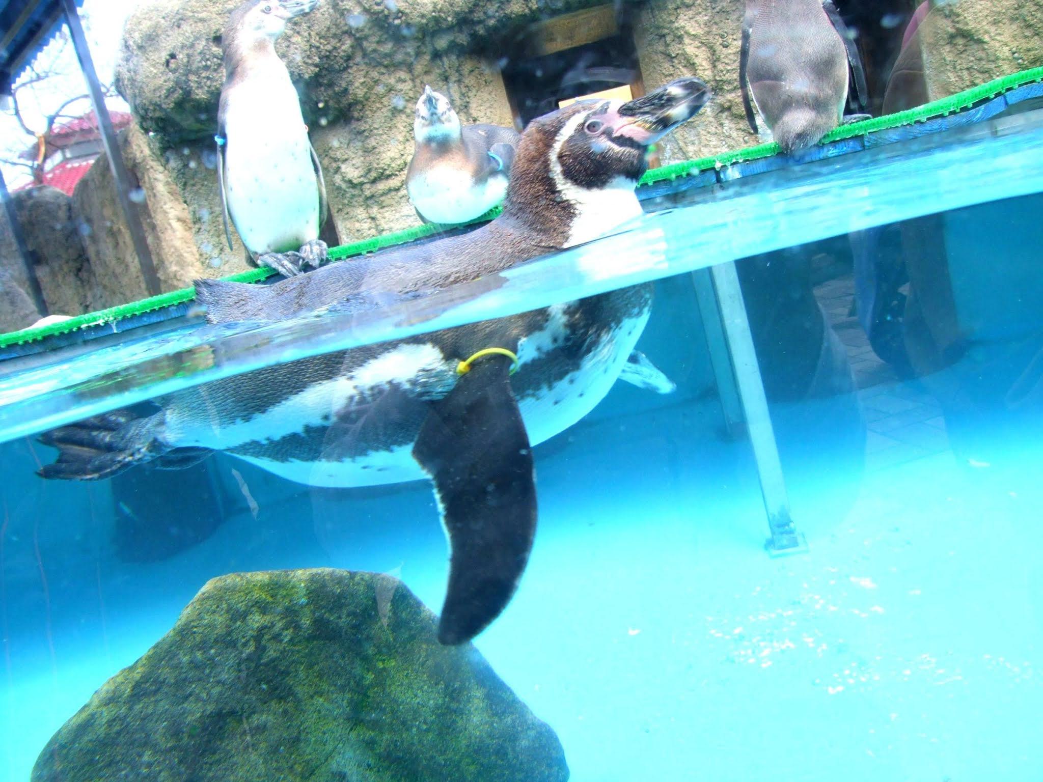 キレイなシアン色のプールの中を涼しげに泳いでいる可愛いペンギンさんの写真素材です。夏向けにオススメです。