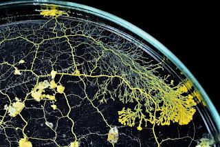 """Le """"blob"""" peut pousser sur une simple feuille buvard, dans une boîte de Petri remplie de flocons d'avoine / MNHN F-G G. Randin"""
