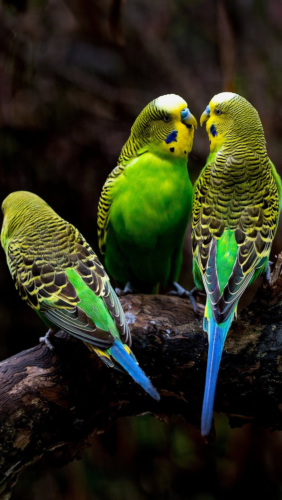 Picture of three budgerigars.