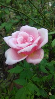 hoa hồng leo nữ hoàng