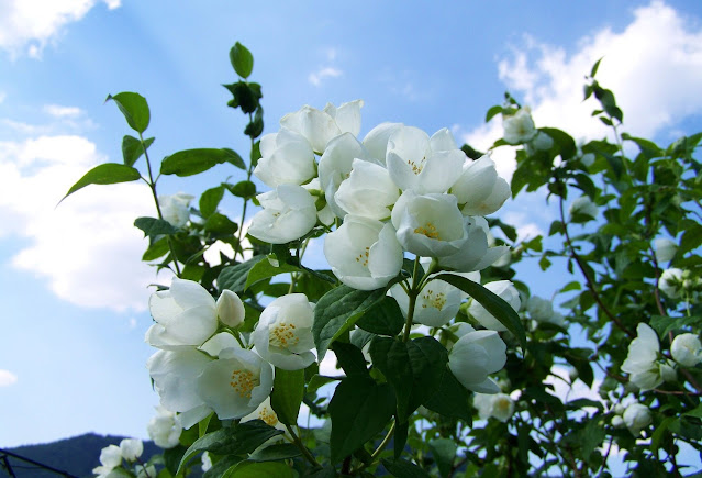 gambar bunga melati cantik