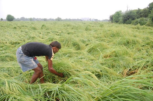 paddy-crops-faridabad