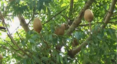 manfaat kandungan buah mahoni