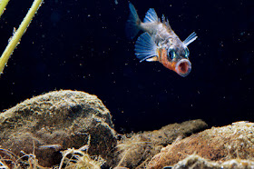 A tiny fish takes on its predators and wins, transforming the Baltic coast