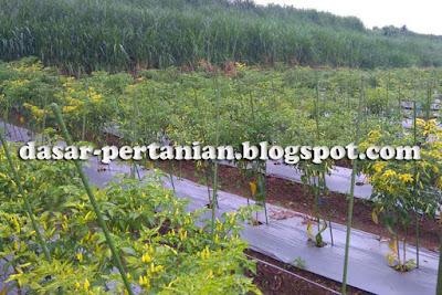Efektivitas Penggunaan Mulsa Pada Tanaman Cabai Rawit