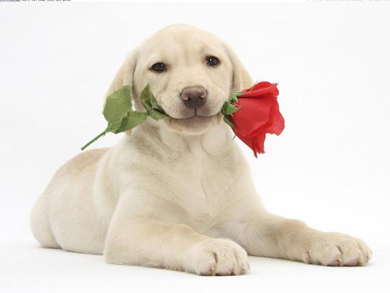 Valentinovo pas ruža download besplatne pozadine za desktop 1152x864 slike ecard čestitke