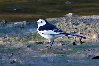 Amur or White-faced Wagtail