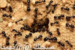 طريقة التتخلص من النمل -النمل روفر الظلام