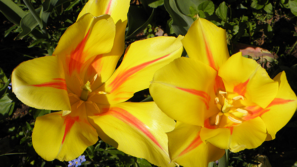 Yellow Tulips striped with Orange