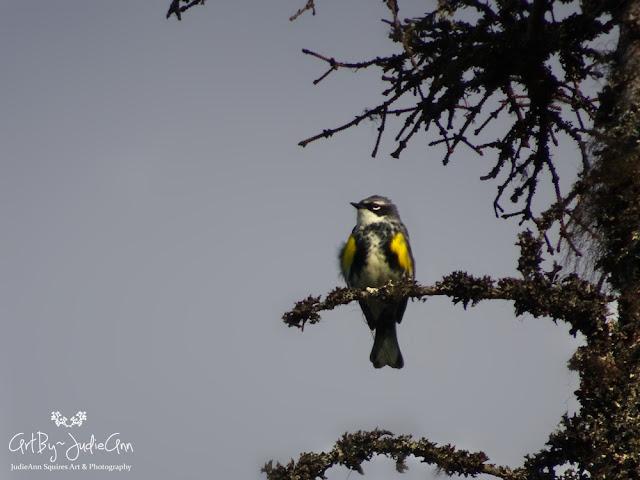 Yellow-rumped Warbler Photos