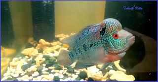Jenis ikan louhan cencu lokal