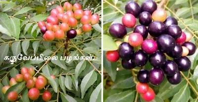 Murraya Koenigii_Curry leaf tree fruit