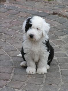 Micro Sheepadoodle  Temperament