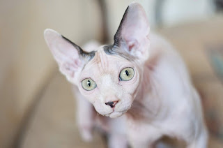 Gato esfinge blanco