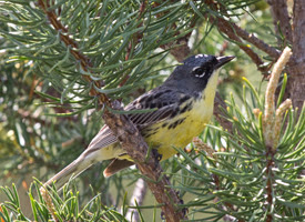 kirtlandswarbler - Helping the Arbor Day Foundation