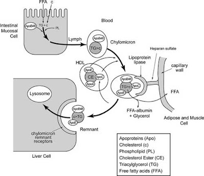 Formation and metabolism of chylomicrons