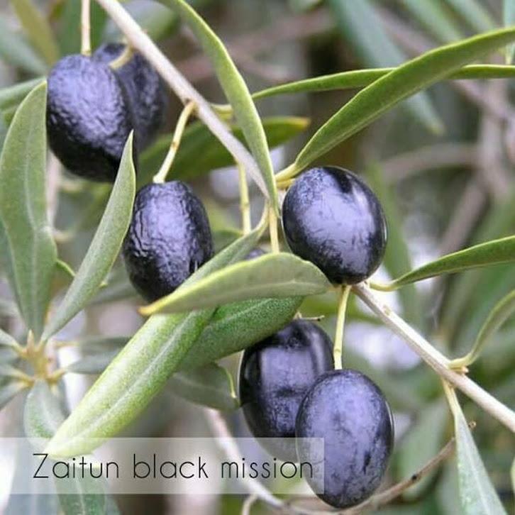 Bibit pohon buah zaitun black mision Sumatra Barat