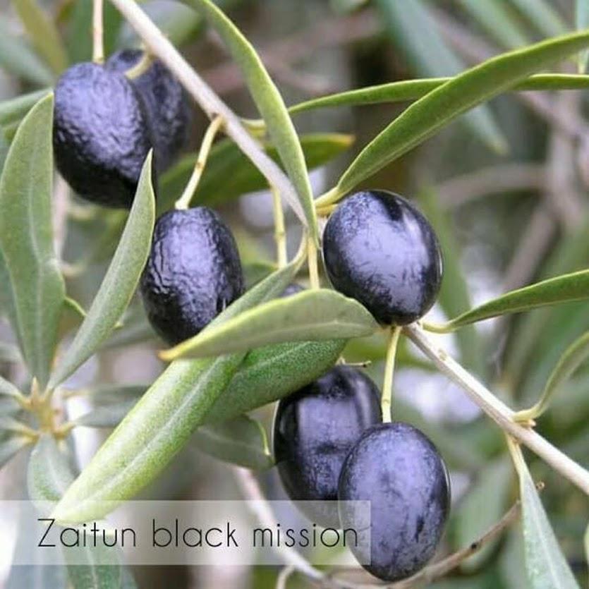 Bibit pohon buah zaitun black mision Sibolga