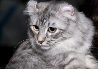 Asal Usul Kucing American Curl
