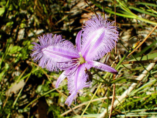 Common Fringe Lily Thysanotus tuberosus. New South Wales. Australia. Photo by Loire Valley Time Travel.