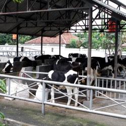 temperatur lingkungan ternak sapi mempengaruhi konsumsi pakan