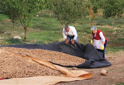 Καρυδιά λύση για την Ελληνική καλλιέργεια...