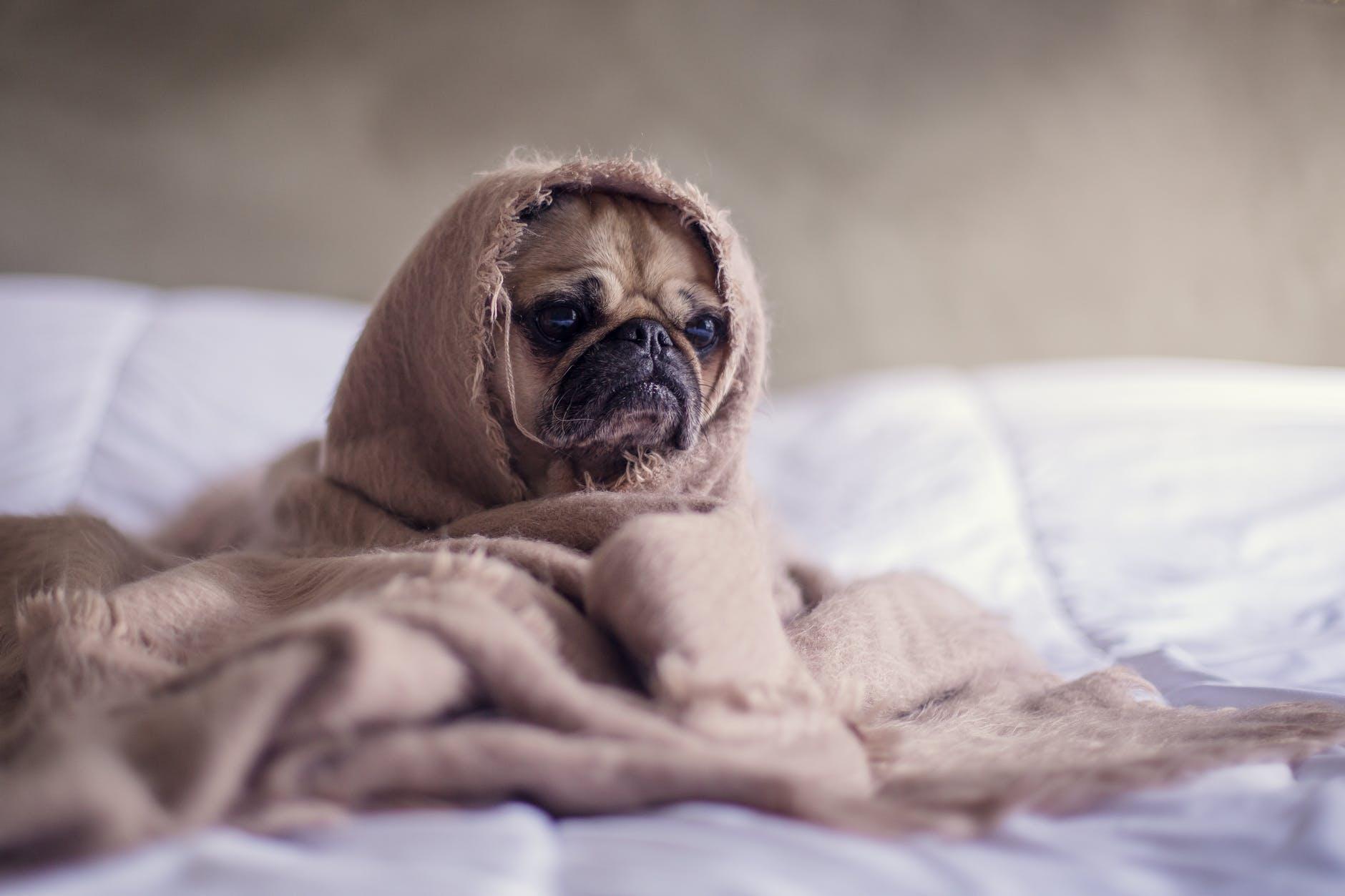Constipation chez le chien, tout ce que vous devez savoir