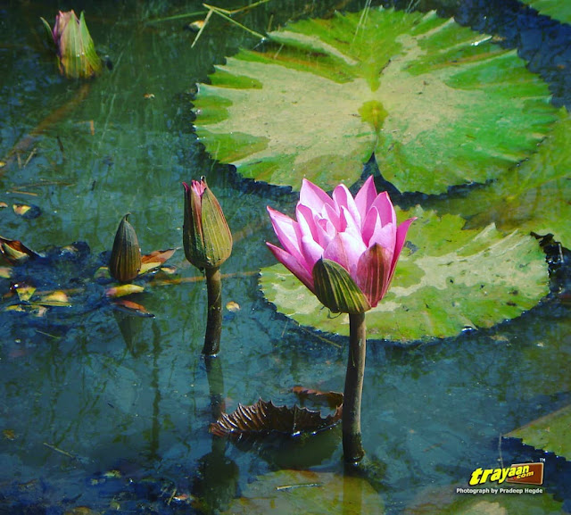 A pretty pink waterlily, blooming in a little pond by a small suburban road