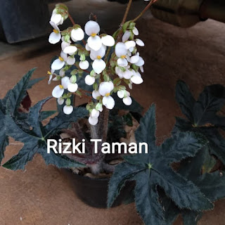 Bibit Bunga begonia bintang Black Velvet