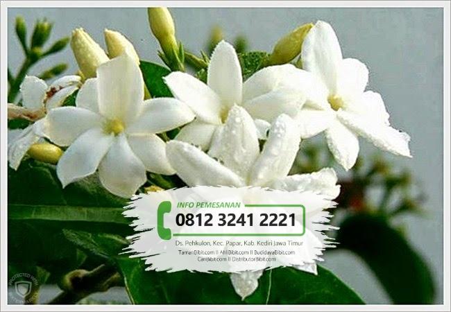 Jual Bibit Bunga Melati Putih