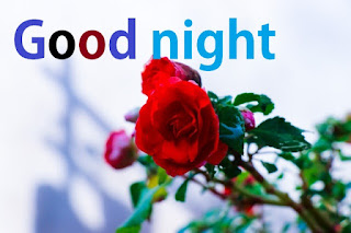 good night rose flowers