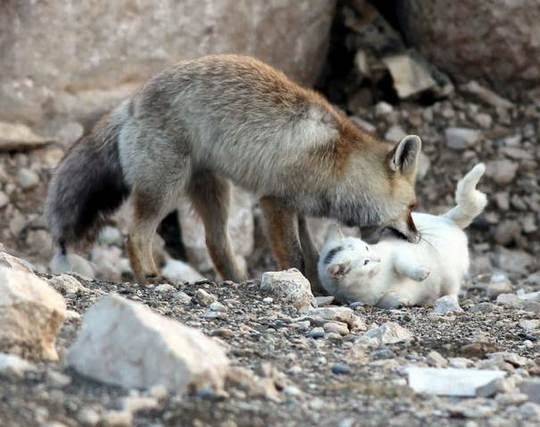 cat and fox playing