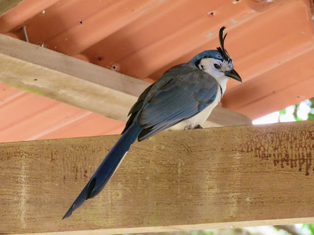 Costa Rica Birds: White-throated magpie-jay