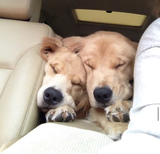 Golden Retrievers Car Cuddle