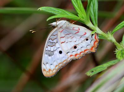 Mariposa cenicienta (Anartia jatrophae)