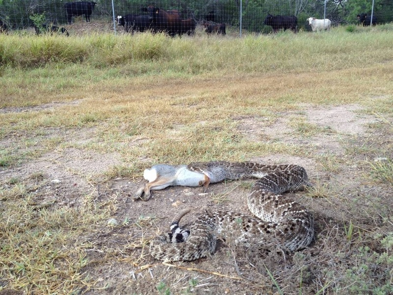 Can A Rattlesnake Eat A Cat