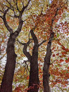 Maple Trees In Early Fall, Greenlink Trail, Cape Breton Island